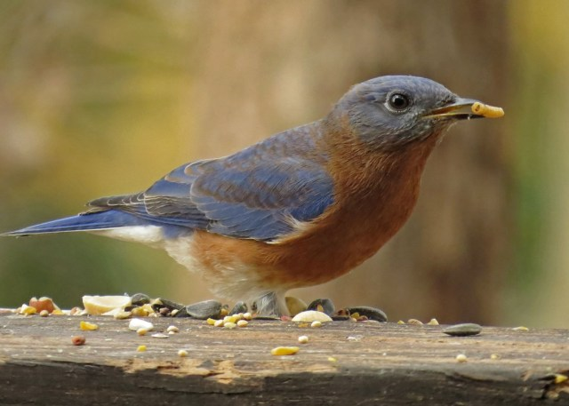 bluebird4
