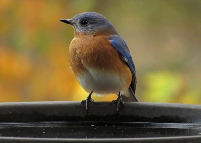 bluebird6