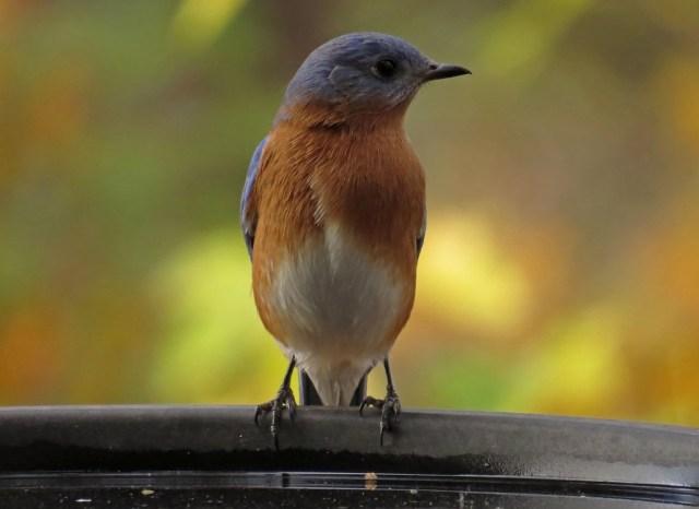 bluebird8