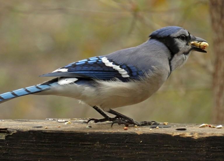 bluejay12