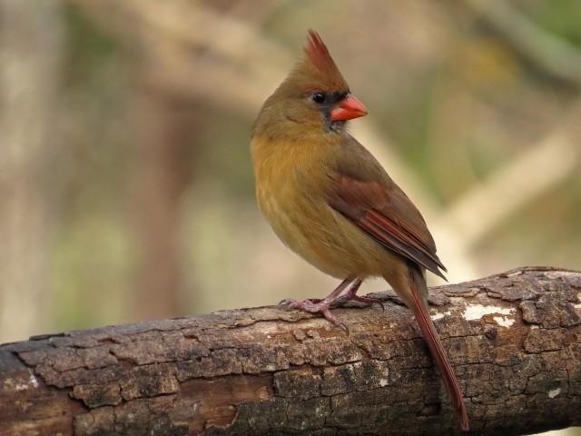 cardinal5