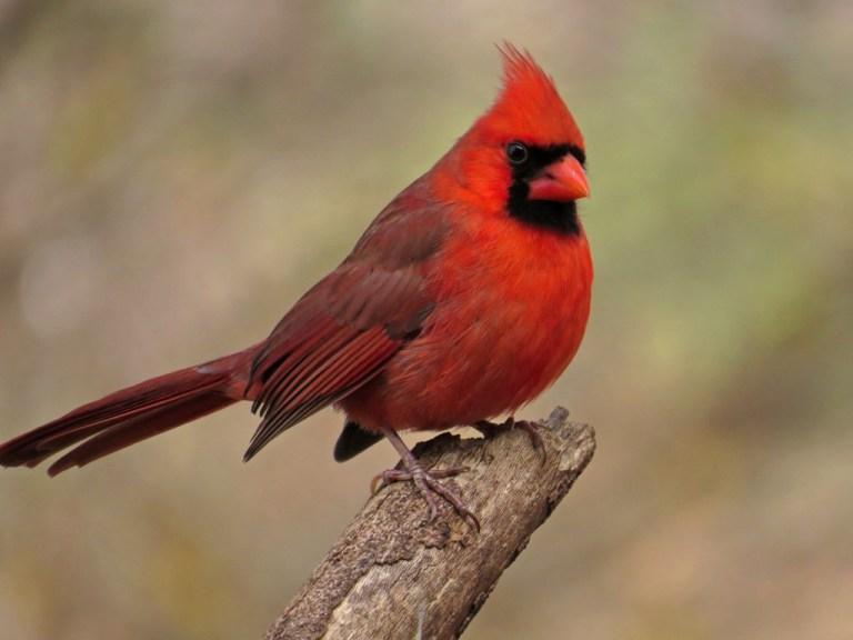 cardinal7