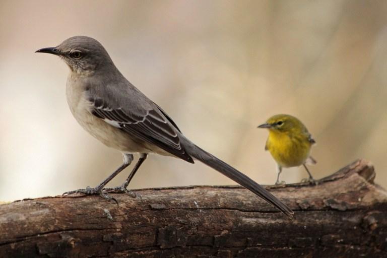 mockingbird3