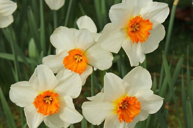daffodilsfour