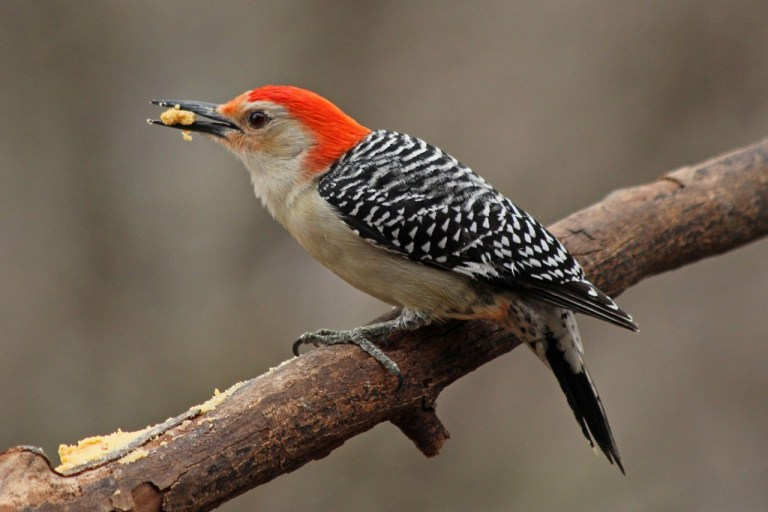 red-bellied2