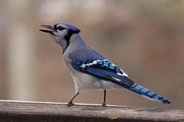 bluejay9