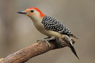 red-belliedwoodpecker