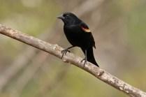red-wingblackbird