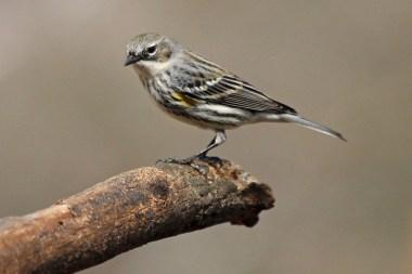 yellow-rumpedwarbler