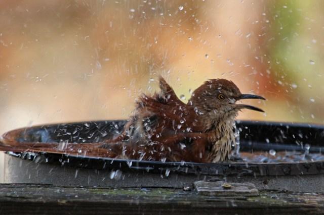 A Boisterous Backyard Bather | Backyard Bird Nerd