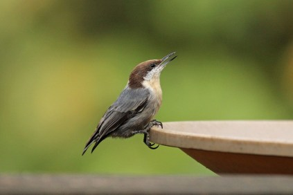 Brown-headed Nuthatch 2