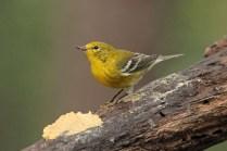 Pine Warbler 2