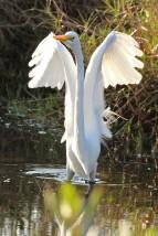 great egret a