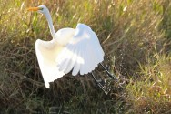 great egret b