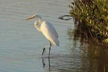 great egret c