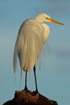 great egret d