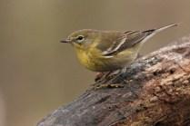 pine warbler - female
