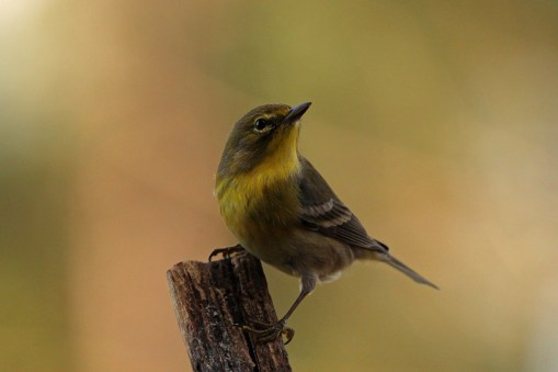 pine warbler - male