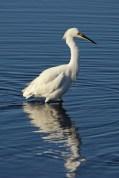 snowy egret a