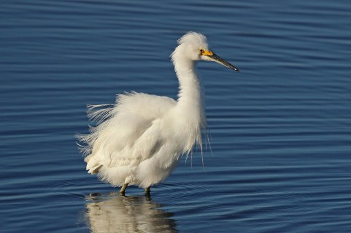 snowy egret b
