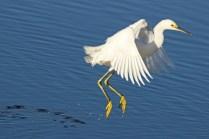 snowy egret c