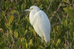 snowy egret d