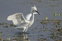 snowy egret e