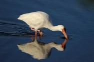 white ibis a