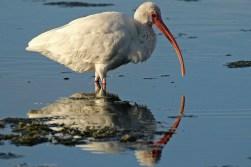 white ibis b