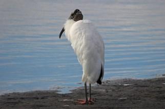 wood stork a