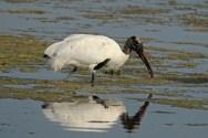 wood stork b