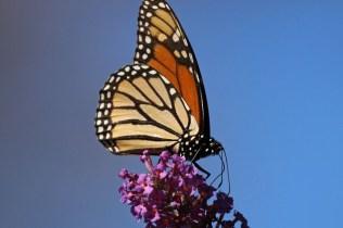 Monarch 11
