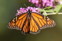 Monarch 13