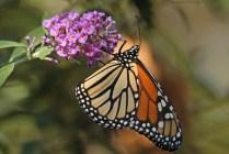 Monarch 5