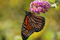 Monarch 7