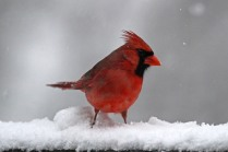 Cardinal 4