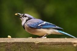 Blue Jay 10