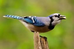 Blue Jay 8